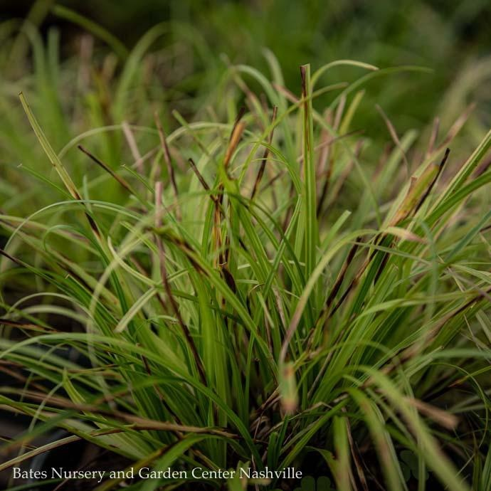 #1 Grass Carex dolich Kaga Nishiki/Gold Fountains Sedge
