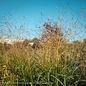 #2 Grass Panicum virg Shenandoah/Switch