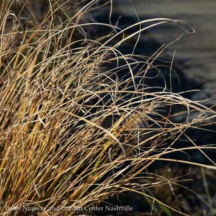 #1 Grass Pennisetum alop Hameln/Fountain Dwarf
