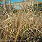 #1 Grass Pennisetum alop Red Head/Fountain Dwarf