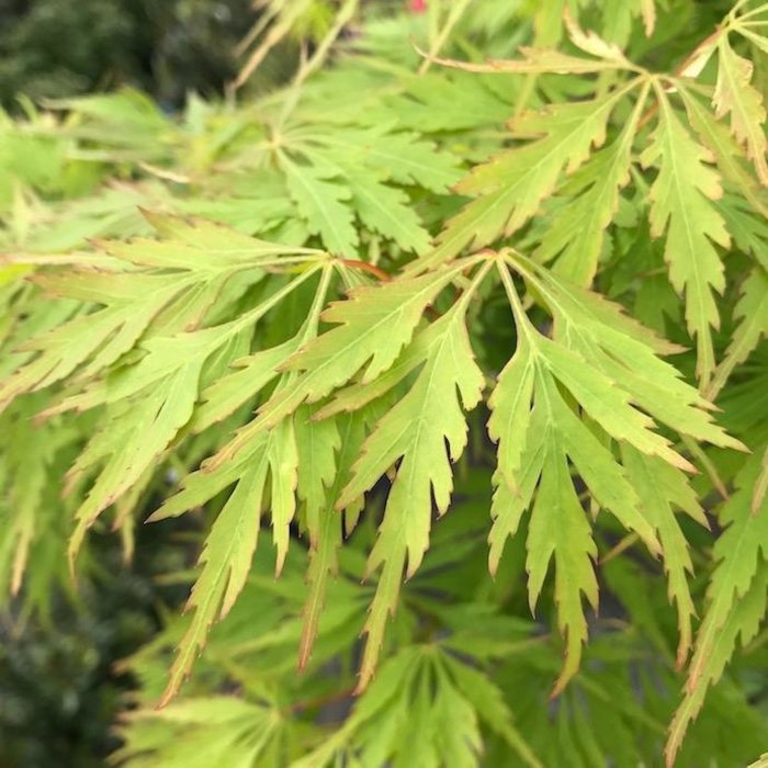 #15 Acer pal var diss Waterfall/Japanese Maple Green Weeping