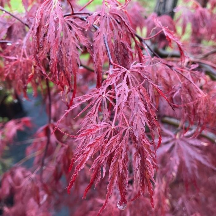 #20 Acer pal var diss Inaba Shidare/Red Select Japanese Maple Red Weeping