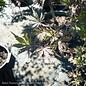 #10 Acer pal Ariadne/Japanese Maple