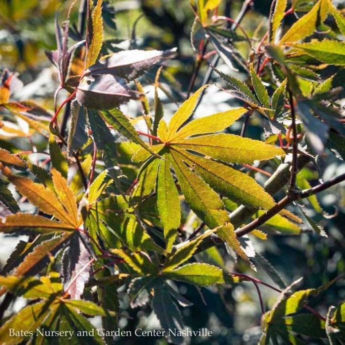 #10 Acer pal Chitose yama/Japanese Maple