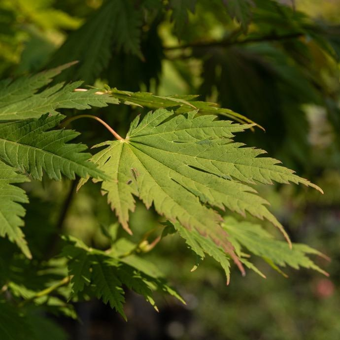 #3 Acer shirasawanum/Fullmoon Japanese Maple