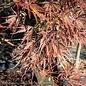 #25 Acer pal var diss Tamukeyama/Japanese Maple Red Weeping