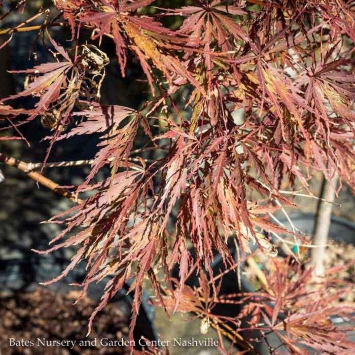 #10 Acer pal var diss Tamukeyama/Japanese Maple Red Weeping