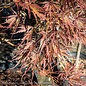 #6 Acer pal var diss Tamukeyama/Japanese Maple Red Weeping