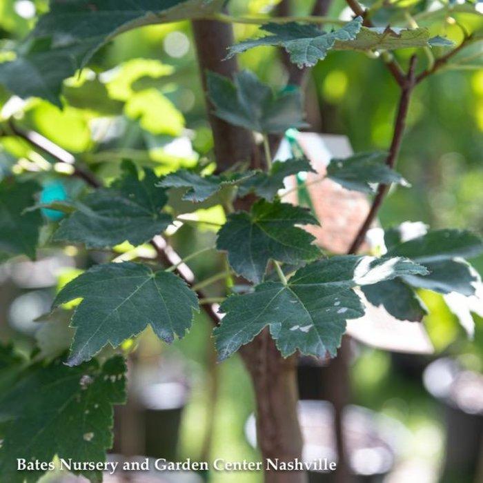 "#25 Acer rubrum October Glory/Red Maple 2"" caliper"