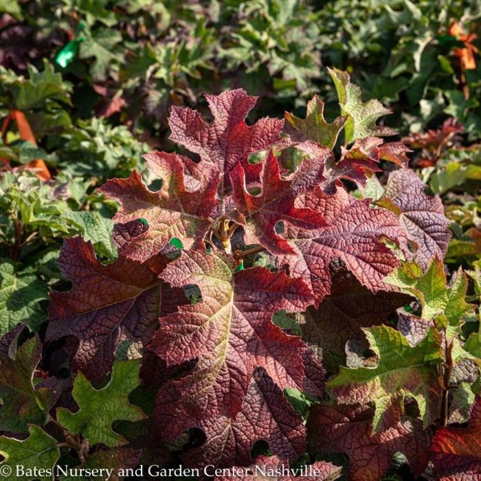 #7 Hydrangea quercifolia/Oakleaf