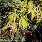 #10 Acer pal Elegans/Upright Japanese Maple Yellow-Green