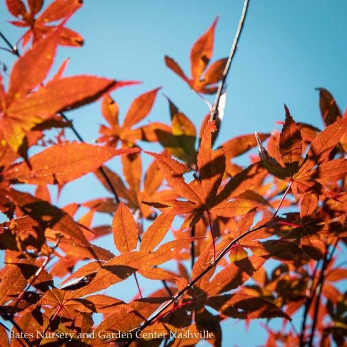 #10 Acer pal Emperor I/Japanese Maple Red Upright