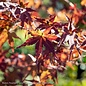 #10 Acer palmatum/Green Upright Japanese Maple