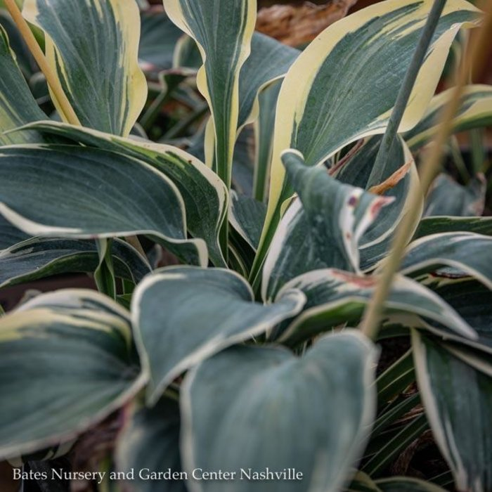 #1 Hosta Frosty Ribbons