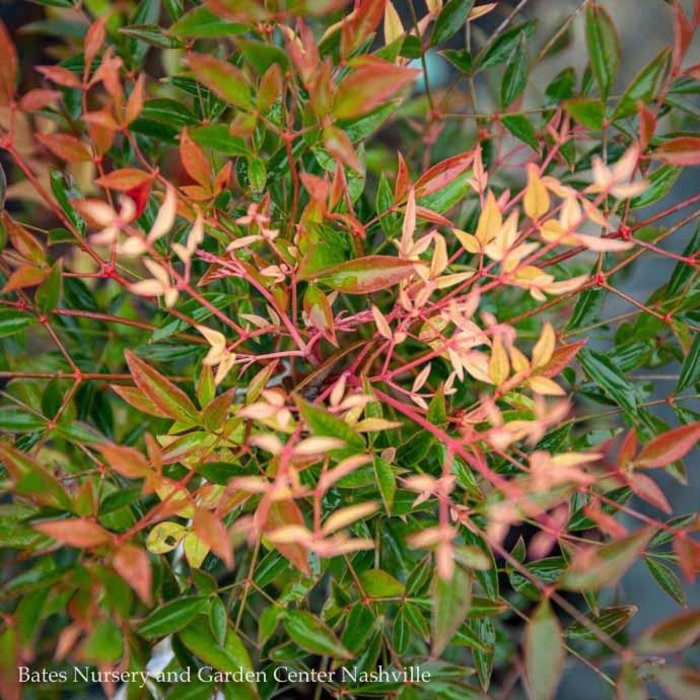 #1 Nandina d. Sienna SunriseHeavenly Bamboo