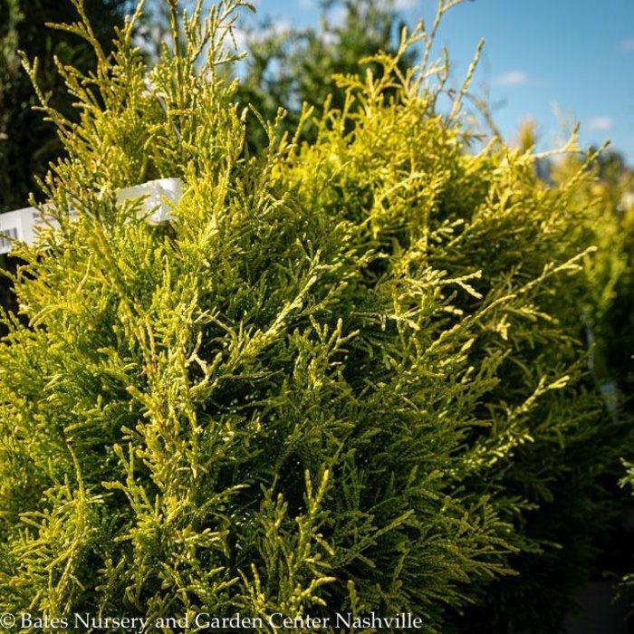 #3 Thuja plicata Fluffy/Arborvitae Gold