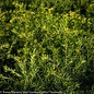 #3 Taxus media Densiformis/Spreading Yew