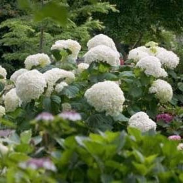 #2 Hydrangea arb Incrediball/Smooth White (Annabelle Type)