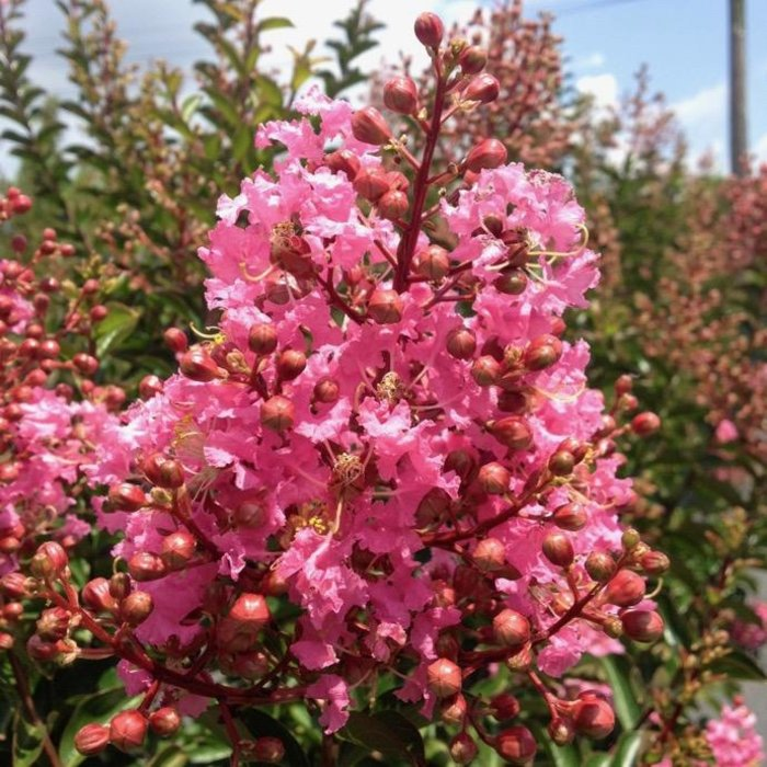 #7 Lagerstroemia x Sioux/Crape Myrtle Clear Medium Pink