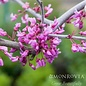 #15 Cercis can Covey/Lavender Twist Redbud Weeping