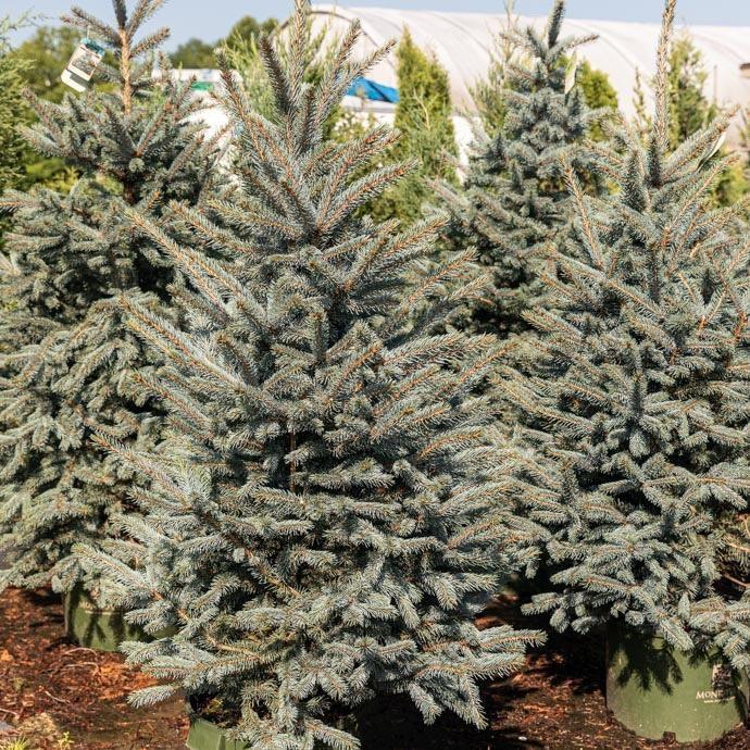 #15 Picea pungens Fat Albert/Dwarf Blue Spruce