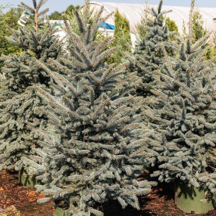 #10 Picea pungens Fat Albert/Dwarf Blue Spruce