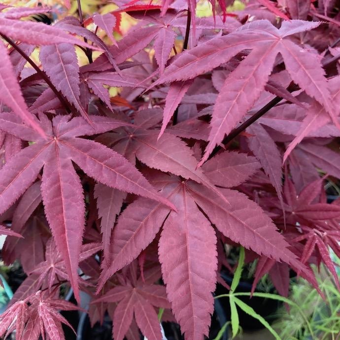 #1 Acer pal Rhode Island Red/Japanese Maple Red Dwarf