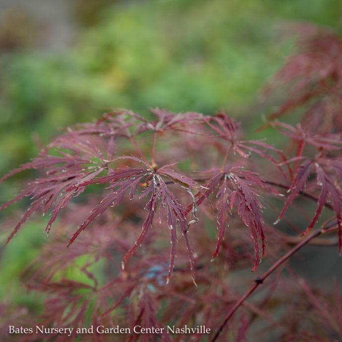 #10 Acer pal var diss Garnet/Japanese Maple Red Weeping