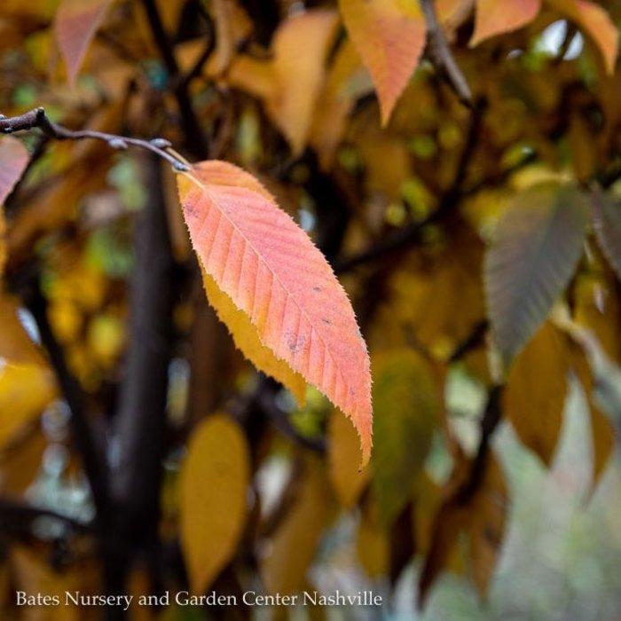 #30 Carpinus caroliniana/American Hornbeam