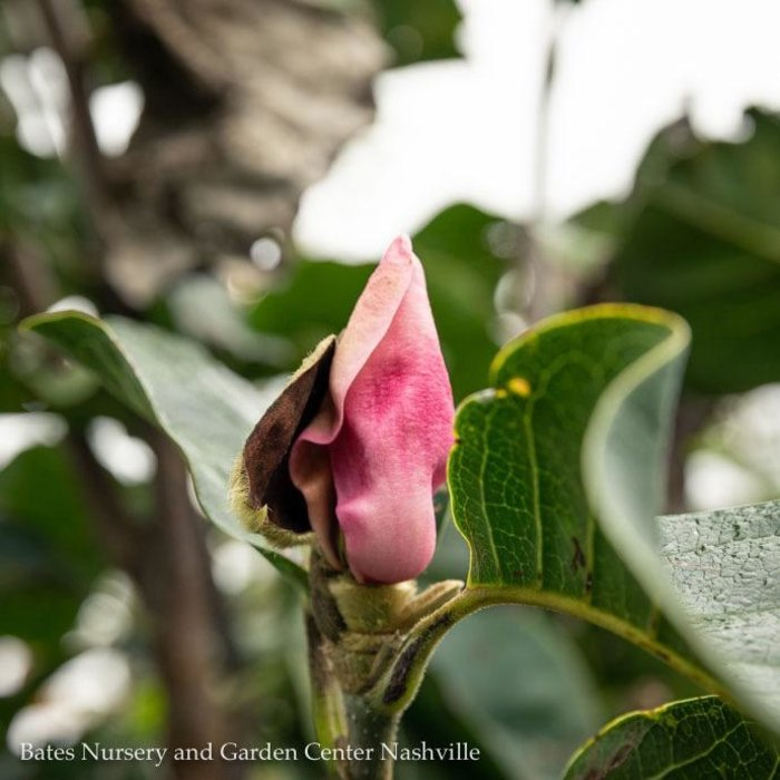 #7 Magnolia x 'Black Tulip'/Deciduous Single