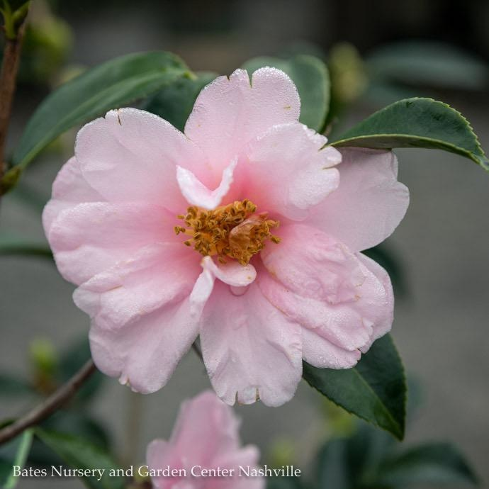 #3 Camellia x Winters Toughie/ Light Pink No Warranty