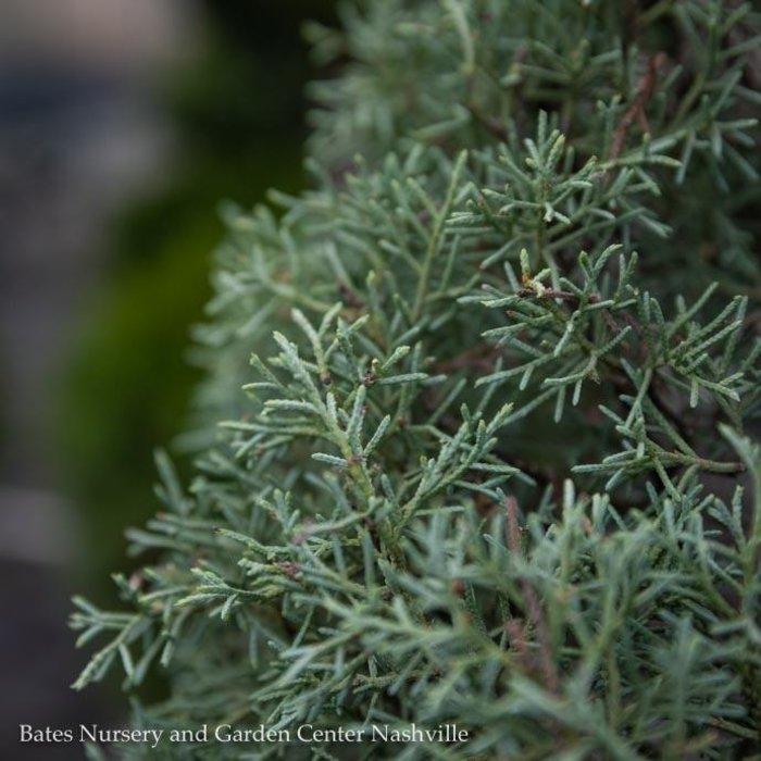 #15 Cupressus arizonica Blue Ice/Blue Arizona Cypress