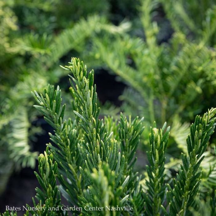 #5 Cephalotaxus harringtonia Duke Gardens/Japanese Plum Yew