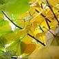 #25 Cercis canadensis/Eastern Redbud