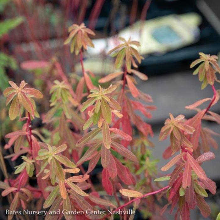 QP Euphorbia polychroma/Cushion Spurge