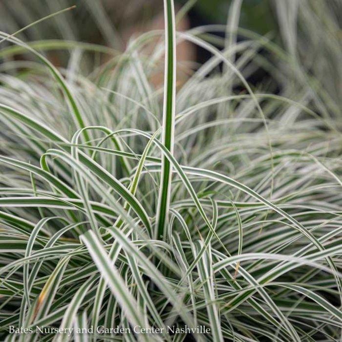 #1 Grass Carex osh EverColor Everest/Sedge Variegated