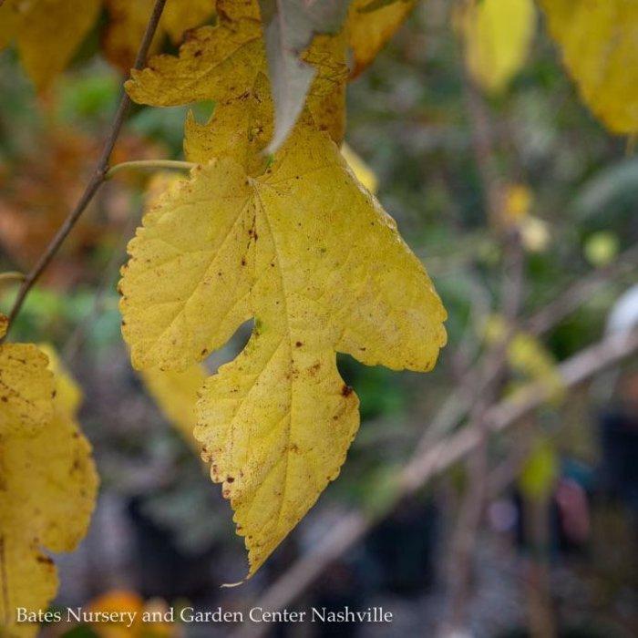 Edible #2 Morus rubra/Red Mulberry