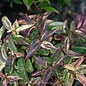 #1 Leucothoe fontanesiana Rainbow/Drooping