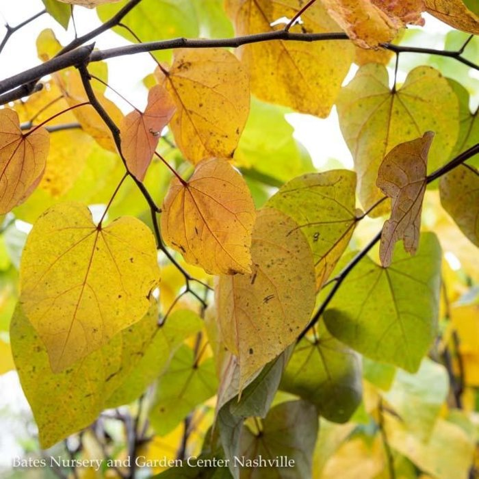 #15 Cercis can Forest Pansy/Redbud Purple Foliage