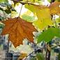 #10 Platanus x acerifolia 'Exclamation'/London Planetree Sycamore