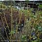 #1 Cornus alba Winter Canary/Tatarian Yellow Twig Dogwood