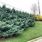 #1 Juniperus virg Grey Owl/Juniper Spreading