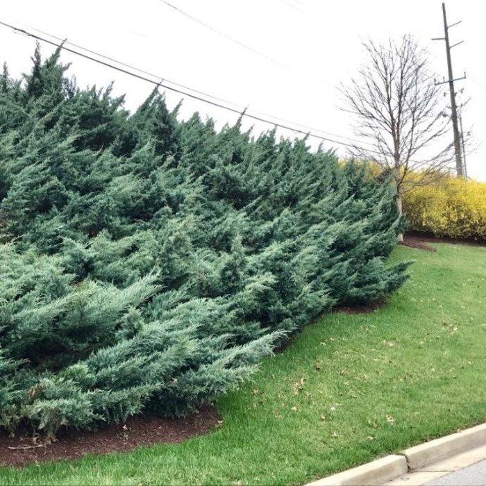 #3 Juniperus v Grey Owl/Juniper Spreading