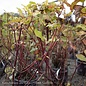 #1 Cornus alba Prairie Fire/Tatarian Red Twig Dogwood Golden