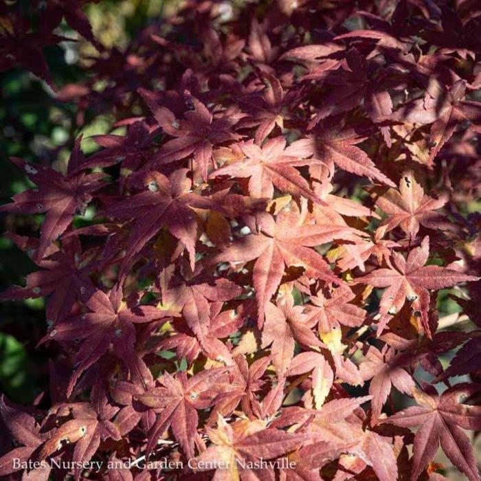 #25 Acer pal Otome Zakura/Japanese Maple