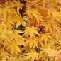 # 10 Acer pal Sango Kaku/Coral Bark Japanese Maple Yellow Upright