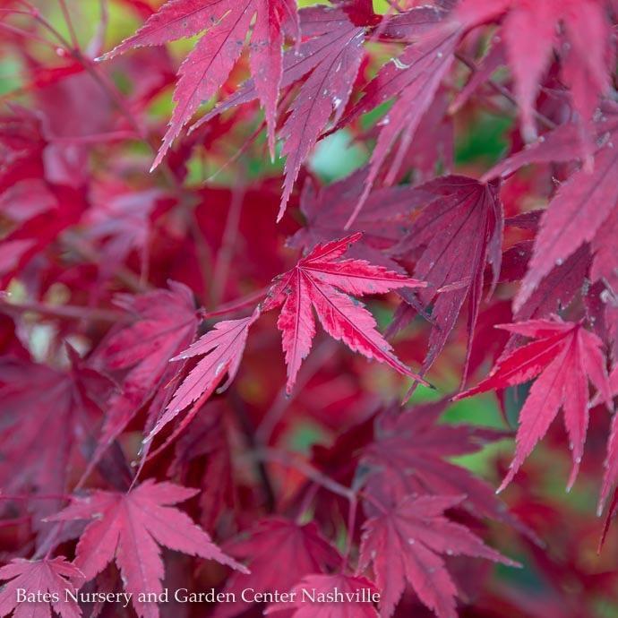6 Acer Pal Tobiosho Japanese Maple Green Upright Bates Nursery