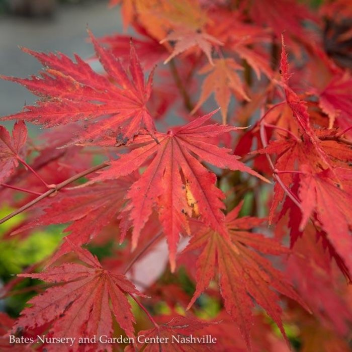 #3 Acer x pseudosieboldianum Arctic Jade®/Korean Maple