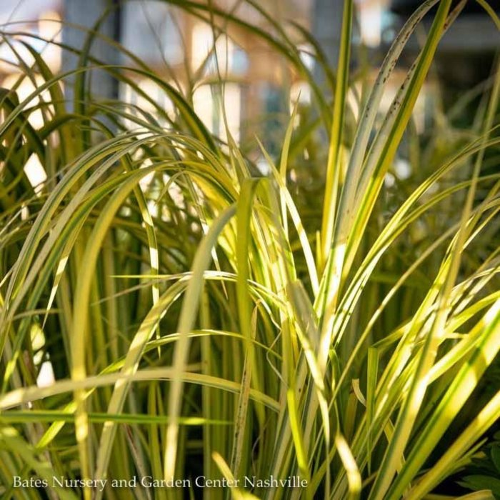 #1 Grass Acorus gram Ogon/Golden Variegated Sweet Flag