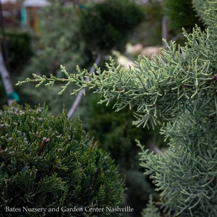#10 Cupressus arizonica var. glabra Chaparral/Blue Arizona Cypress